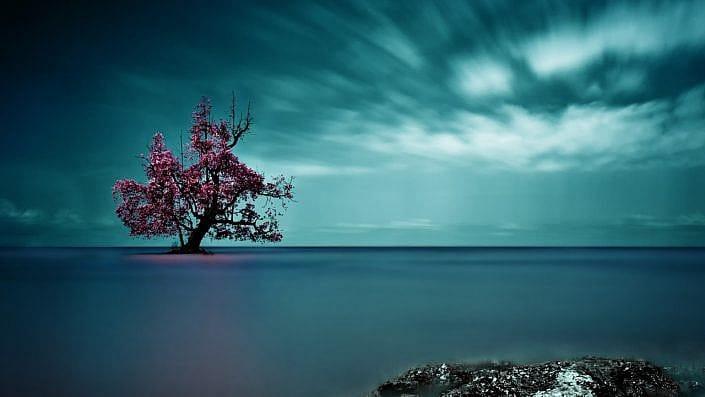 solitary mangrove tree