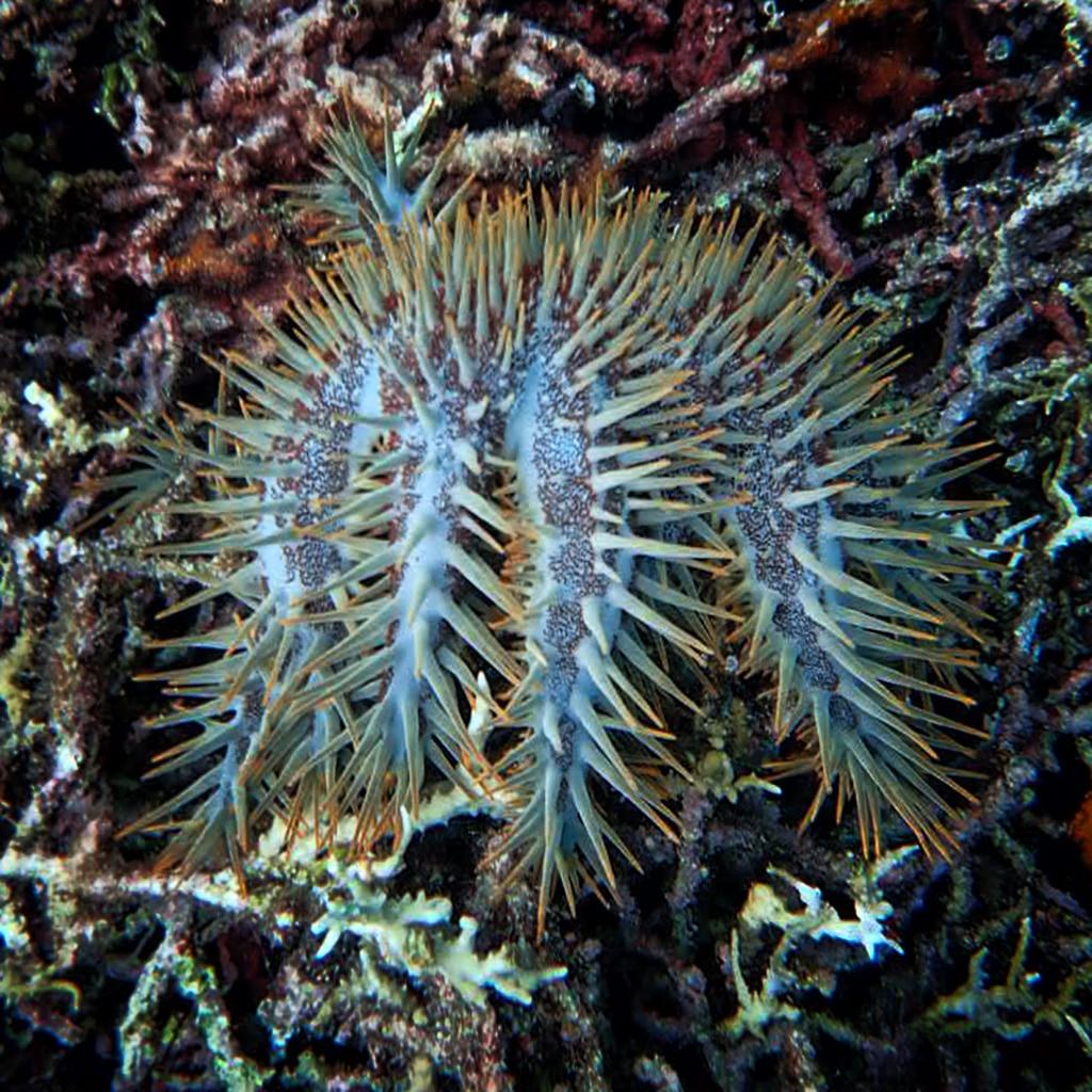Labengki Crown-of-thorn.jpg